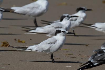 Cabot's Tern Nominate subspecies Thalasseus acuflavidus acuflavidus Merritt Island National Wildlife Refuge, Titusville, Florida 18 October 2016