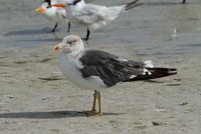 Lesser Black-backed Gull graellsii subspecies Larus fuscus graellsii Siesta Key Beach, Siesta Key, Florida 29 October 2017