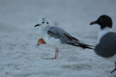 Bonaparte's Gull Chroicocephalus philadelphia Siesta Beach, Siesta Key, Florida 23 February 2021