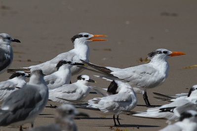 Royal Tern Nominate subspecies Thalasseus maximus maximus Merritt Island National Wildlife Refuge, Titusville, Florida 18 October 2016