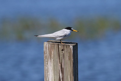 Least Tern Nominate subspecies Sternula antillarum antillarum Circle B Bar Reserve, Lakeland, Florida 17 April 2018