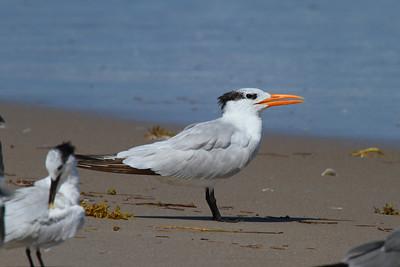 Royal Tern Nominate subspecies Thalasseus maximus maximus Merritt Island National Wildlife Refuge, Titusville, Florida 18 October 2016