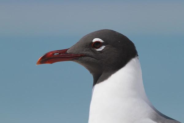 """Laughing Gull """"North American"""" subspecies Leucophaeus atricilla megalopterus Fort De Soto Park, Tierra Verde, Florida 29 March 2017"""