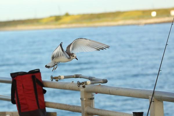 Sabine's Gull (juvenile) Xema sabini Jetty Park Fishing Pier, Port Canaveral, Florida 24 November 2020