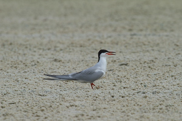Common Tern Nominate subspecies Sterna hirundo hirundo Siesta Key Beach, Siesta Key, Florida 14 June 2017