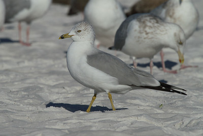 Ring-billed Gull Larus delawarensis Siesta Key Beach, Siesta Key, Florida 25 December 2016