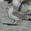 Ring-billed Gull<br> <i>Larus delawarensis</i><br> Siesta Key Beach, Siesta Key, Florida<br> 25 December 2016