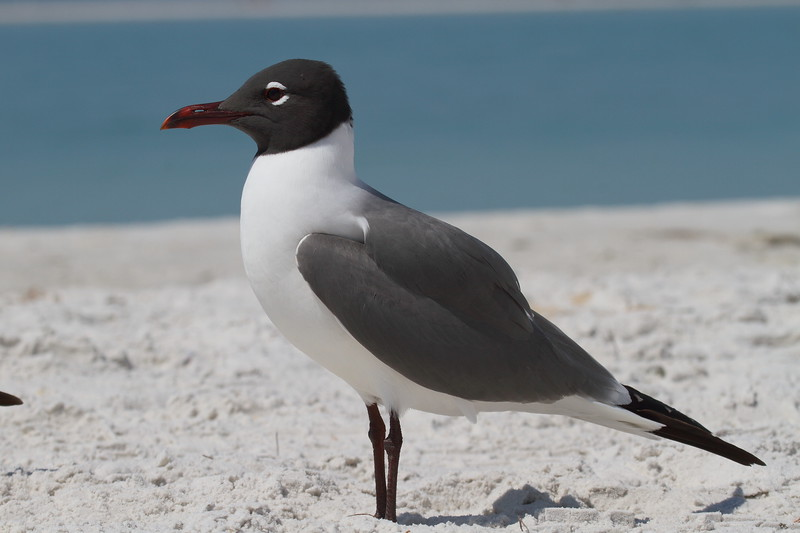 "Laughing Gull<br> ""North American"" subspecies<br> <i>Leucophaeus atricilla megalopterus</i><br> Fort De Soto Park, Tierra Verde, Florida<br> 29 March 2017"