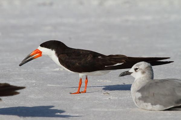 Black Skimmer Nominate subspecies Rynchops niger niger Siesta Beach, Siesta Key, Florida 30 August 2017