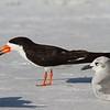 Black Skimmer<br> Nominate subspecies<br> <i>Rynchops niger niger</i><br> Siesta Beach, Siesta Key, Florida<br> 30 August 2017