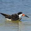 Black Skimmer<br> Nominate subspecies<br> <i>Rynchops niger niger</i><br> Siesta Beach, Siesta Key, Florida<br> 17 September 2017