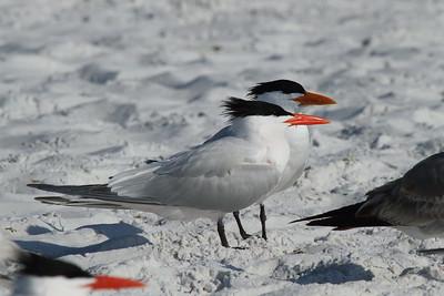 Royal Tern Nominate subspecies Thalasseus maximus maximus Siesta Key Beach, Siesta Key, Florida 3 March 2017