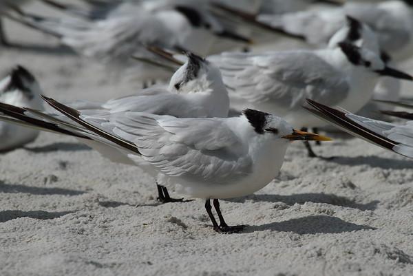 "Cabot's Tern ""Cayenne"" subspecies Thalasseus acuflavidus eurygnathus Siesta Key Beach, Siesta Key, Florida 29 October 2017"