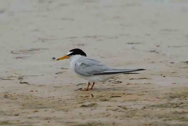 Least Tern Nominate subspecies Sternula antillarum antillarum Siesta Key Beach, Siesta Key, Florida 14 June 2017