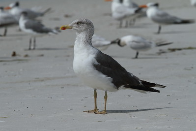 Lesser Black-backed Gull graellsii subspecies Larus fuscus graellsii Siesta Key Beach, Siesta Key, Florida 11 October 2018