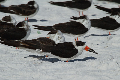Black Skimmer Nominate subspecies Rynchops niger niger Siesta Beach, Siesta Key, Florida 15 November 2016