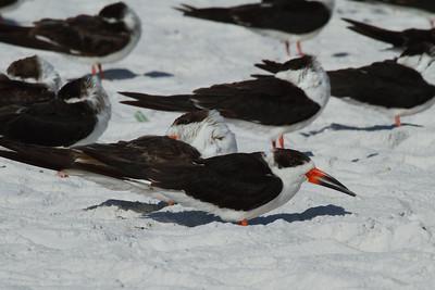 Black Skimmer Nominate subspecies Rynchops niger niger Siesta Beach, Siesta Key, Florida 15 November 2016