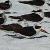 Black Skimmer<br> Nominate subspecies<br> <i>Rynchops niger niger</i><br> Siesta Beach, Siesta Key, Florida<br> 15 November 2016