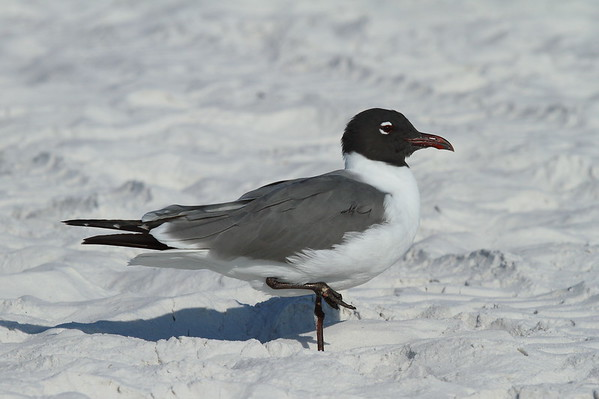 "Laughing Gull ""North American"" subspecies Leucophaeus atricilla megalopterus Siesta Key Beach, Siesta Key, Florida 9 March 2017"