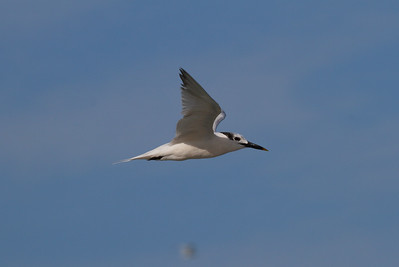 Cabot's Tern Nominate subspecies Thalasseus acuflavidus acuflavidus Martin Beach, Stuart, Florida 18 September 2016