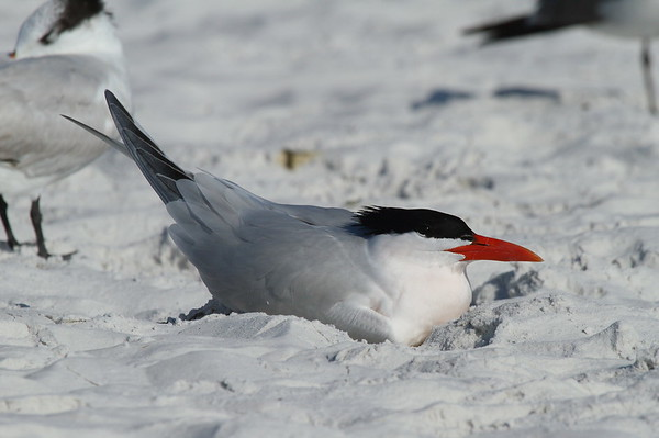 Royal Tern Nominate subspecies Thalasseus maximus maximus Siesta Key Beach, Siesta Key, Florida 3 March 2017