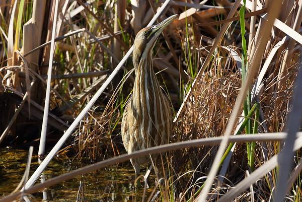 American Bittern Botaurus lentiginosis William J. Gentry, Jr. Memorial Eco Park, Sebring, Florida 06 January 2021