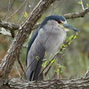 "Black-crowned Night Heron<br> ""American"" subspecies<br> <i>Nycticorax nycticorax hoactli</i><br> Lake Parker, Lakeland, Florida<br> 22 January 2018"