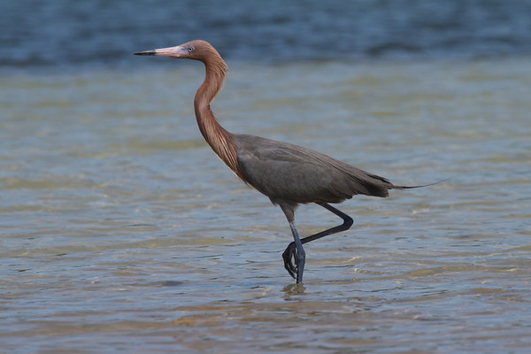 Reddish Egret Nominate subspecies Egretta rufescens rufescens Fort De Soto Park, Tierra Verde, Florida 13 March 2018