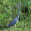Tricolored Heron<br> <i>ruficollis</i> subspecies<br> <i>Egretta tricolor ruficollis</i><br> Circle B Bar Reserve, Lakeland, Florida<br> 4 October 2016