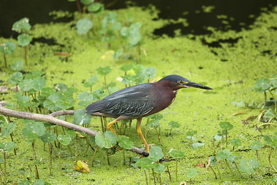 Green Heron Nominate subspecies Butorides virescens virescens Circle B Bar Reserve, Lakeland, Florida 13 June 2020