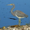 Tricolored Heron<br> <i>ruficollis</i> subspecies<br> <i>Egretta tricolor ruficollis</i><br> Circle B Bar Reserve, Lakeland, Florida<br> 11 January 2017