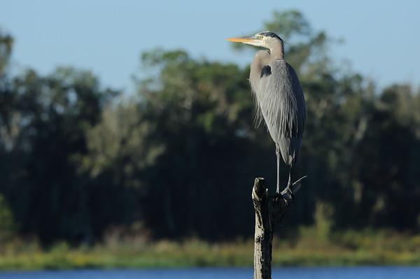 "Great Blue Heron ""Ward's"" subspecies Ardea herodias wardi Circle B Bar Reserve, Lakeland, Florida 18 November 2020"