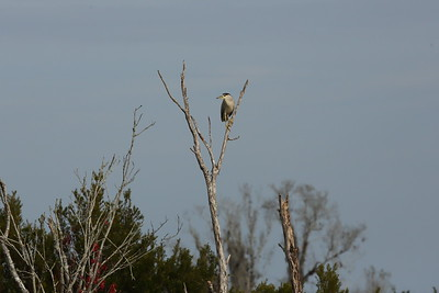 """Black-crowned Night Heron """"American"""" subspecies Nycticorax nycticorax hoactli Avon Park Air Force Range, Highlands County, Florida 17 January 2021"""