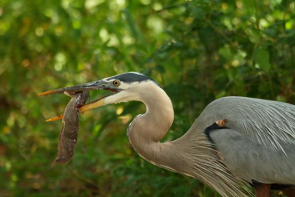 "Great Blue Heron ""Ward's"" subspecies Ardea herodias wardi Circle B Bar Reserve, Lakeland, Florida 25 April 2017"