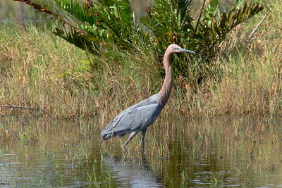 Reddish Egret Nominate subspecies Egretta rufescens rufescens Merritt Island National Wildlife Refuge, Titusville, Florida 18 October 2016