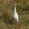 Western Cattle Egret<br> <i>Bubulcus ibis</i><br> Avon Park Air Force Range, Avon Park, Florida<br> 10 December 2016
