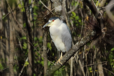"Black-crowned Night Heron ""American"" subspecies Nycticorax nycticorax hoactli Lettuce Lake Park, Tampa, Florida 08 January 2020"