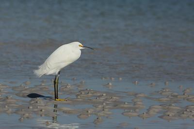 Snowy Egret Nominate subspecies Egretta thula thula Fort De Soto Park, Tierra Verde, Florida 23 December 2020