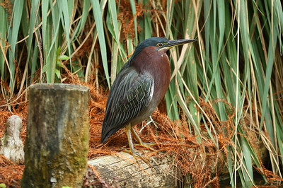 Green Heron Nominate subspecies Butorides virescens virescens Morikami Park, Delray Beach, Florida 12 January 2019