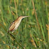 Least Bittern<br> Nominate subspecies<br> <i>Ixobrychus exilis exilis</i><br> Viera Wetlands, Melbourne, Florida<br> 21 March 2017