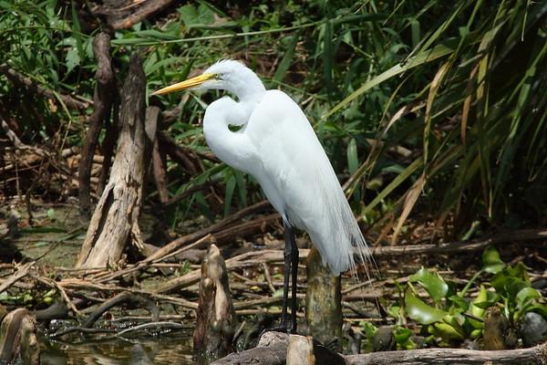 """Great Egret """"American"""" subspecies Ardea alba egretta Circle B Bar Reserve, Lakeland, Florida 5 June 2019"""