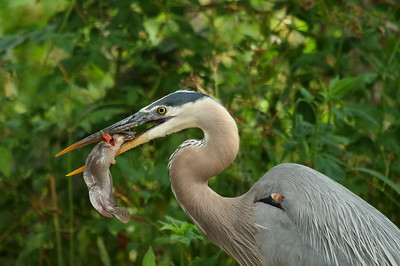 "Great Blue Heron ""Ward's"" subspecies Ardea herodias wardi Circle B Bar Reserve, Lakeland, Florida 25 April 2017"