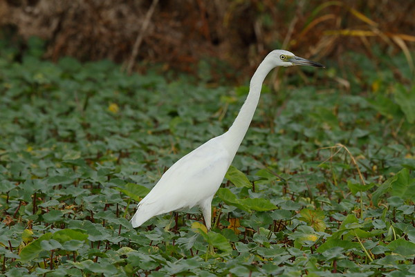Little Blue Heron White morphology Egretta caerulea Lake Apopka Wildlife Drive, Apopka, Florida 28 January 2018