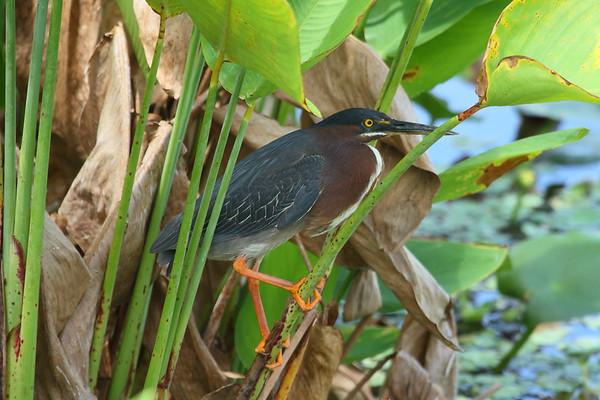Green Heron Nominate subspecies Butorides virescens virescens Celery Fields, Sarasota, Florida 4 July 2018
