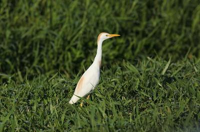 Western Cattle Egret Bubulcus ibis Lake Apopka Wildlife Drive, Apopka, Florida 17 July 2020
