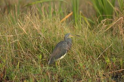 Tricolored Heron ruficollis subspecies Egretta tricolor ruficollis Celery Fields, Sarasota, Florida 16 December 2020