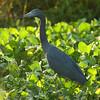 Little Blue Heron<br> <i>Egretta caerulea</i><br> Circle B Bar Reserve, Lakeland, Florida<br> 4 October 2016
