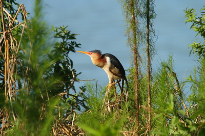Least Bittern Nominate subspecies Ixobrychus exilis exilis Circle B Bar Reserve, Lakeland, Florida 5 July 2017