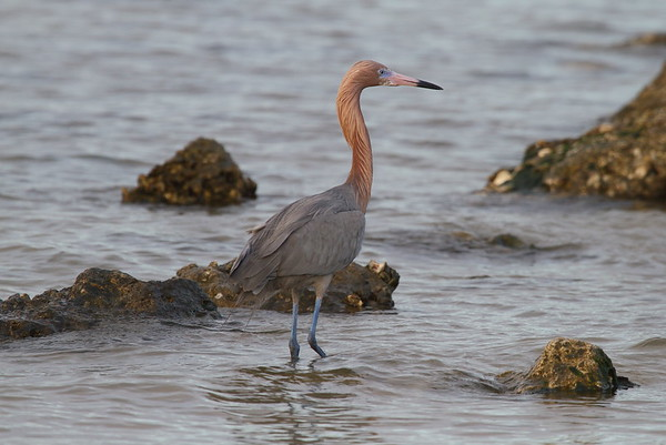 Reddish Egret Nominate subspecies Egretta rufescens rufescens Cypress Point Park, Tampa, Florida 20 February 2018