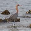 Reddish Egret<br> Nominate subspecies<br> <i>Egretta rufescens rufescens</i><br> Cypress Point Park, Tampa, Florida<br> 20 February 2018